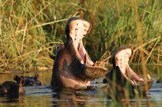 Christian Heeb - Travel and Nature Photography Tours and Workshops Photography Tours, Nature Photography, Namibia, Hippopotamus, National Parks, Workshop, Christian, River, Island