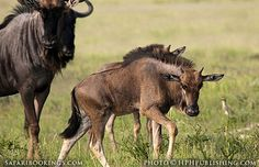 Adult wildebeest with calf ( #Mabuasehube area, Botswana side) @ Kgalagadi Transfrontier Park in #SouthAfrica. See our #Kgalagadi travel guide: http://www.safaribookings.com/kgalagadi