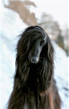 Most Beautiful Animals, Beautiful Creatures, Black Afghan, Afghan Hound, Old English Sheepdog, Old Dogs, Hound Dog, Ice Queen, Happy Dogs