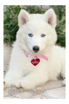 Wonderful All About The Siberian Husky Ideas. Prodigious All About The Siberian Husky Ideas. Cute Dogs And Puppies, I Love Dogs, Pet Dogs, Dog Cat, Pets, Doggies, Lab Puppies, Baby Dogs, Cute Husky