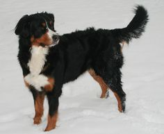 Berners are made for the snow...