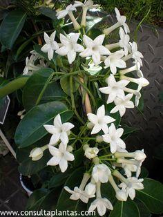 Cuidados de la planta Stephanotis floribunda o Jazmín de Madagascar