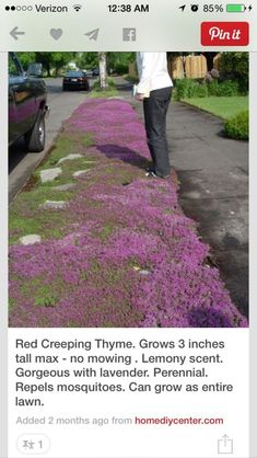 The ground cover for the rose garden: Red Creeping Thyme. grows 3 inches tall max so very neat--no mowing needed ever. gorgeous with lavender. can grow as entire lawn. Red Creeping Thyme, Exterior, Yard Landscaping, Landscaping Ideas, Backyard Ideas, Drought Resistant Landscaping, Rustic Landscaping, No Grass Backyard, Drought Tolerant Landscape