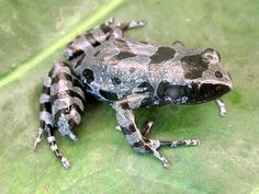 """""""Lost"""" Long-Fingered Frog Found in Africa. """"Beautiful little animal"""" rediscovered after 62 years, scientists say."""