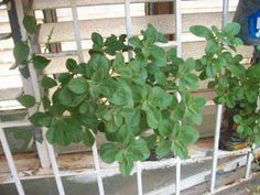 MI TECHO VERDE: La Planta de Acetaminofen (Plectranthus neochilus)...