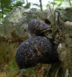 грибы семейства Болетовые. АЛЬБОМ - 2 | 516 фотографий