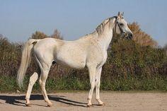 Horses for sale - Arabian Horse Russia Breeding For horsing predlagaetsya na sluchku Tandem(Drug- Travka)