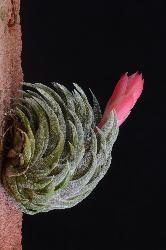 178. Tillandsia sprengeleriana - Click to see all images