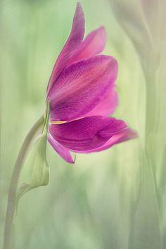 Tulip by Kathleen Clemons