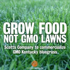 Scotts Company is going forward with plans to commercialize GMO Kentucky bluegrass. More here: http://www.cornucopia.org/2014/02/hole-regulation-gmos-kudzu-fit #GMOs The Cornucopia Institute
