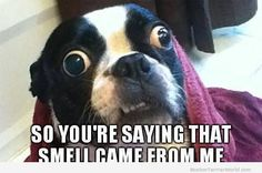 Boston Terrier Pictures ❤❤❤ from BostonTerrierWorld.com