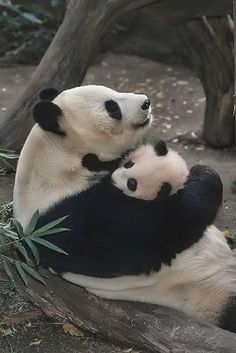 A momma panda bear hugging her baby. Panda's have one baby at a time. This is why pandas are protected!