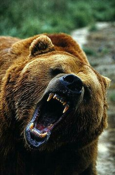 Ours Grizzly, Grizzly Bears, Grizzly Bear Tattoos, Grizzly Man, Beautiful Creatures, Animals Beautiful, Animals And Pets, Cute Animals, Wild Animals