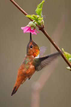 Rufus Hummingbird, hummingbirds
