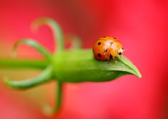 Lady bug, I got this cute bugs outside my home in Karawaci, Indonesia. The background color is the red flower. Healthy Food Choices, Beautiful Wall, Science Nature, Mother Nature, Flower Arrangements, Insects, Nature Photography, Flora, Ladybugs