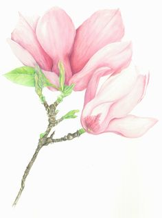 Magnolia... watercolour and polychromos pencil http://traceyfletcherking.blogspot.com/ ...prints made to order and shipped internationally. Email enquiries to tki46582@bigpond.net.au