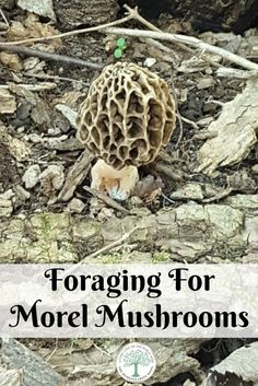 You know Spring is here when the morels are ready! How to forage for morel mushrooms! The Homesteading Hippy via @homesteadhippy