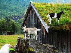 Norwegian cabin, grass roof, roof goats.