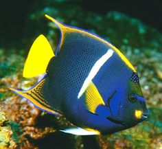 The king angelfish is a beautifully colored, reef associated fish, found in the east Pacific Ocean and the Gulf of California in tropical and some subtropical area