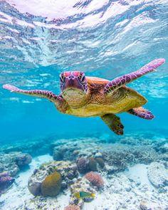 sea life - sea life photography - sea life underwater - sea life artwork - sea life watercolor sea l Save The Sea Turtles, Baby Sea Turtles, Cute Turtles, Turtle Baby, Sea Turtle Art, Turtle Love, Ocean Turtle, Fish Ocean, Beautiful Sea Creatures