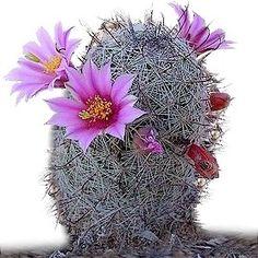 Fishhook Pincushion cactus, Mammilaria grahamii