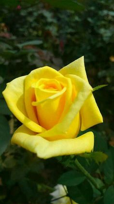 Beautiful Rose Flowers, Pretty Roses, Love Rose, Amazing Flowers, Lavender Roses, Yellow Roses, Pink Roses, Types Of Roses, Rainbow Roses