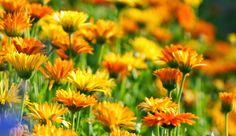Deixar o jardim colorido o ano todo é o objetivo da maioria das pessoas, mas não é fácil conseguir flores em abundância o tempo todo. Pa...