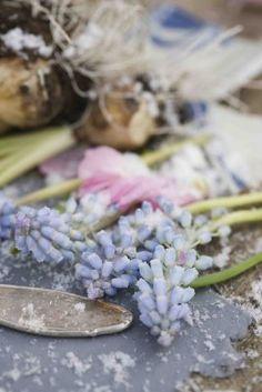 ❥ grape hyacinth