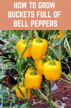 Here's how to grow the most prolific bell pepper plants for an abundant harvest. # How To Grow Buckets Full Of Bell Peppers + Health Benefits & Recipes Bell Pepper Plant, Pepper Plants, Gardening For Beginners, Gardening Tips, Gardening Gloves, Potato Gardening, Bucket Gardening, Gardening Services, Gemüseanbau In Kübeln