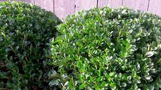 7 mooiste Haagplanten - KleineTuinen.nl How To Attract Hummingbirds, Water Wise, Buxus, Potted Plants, Plant Pots, Hedges, Curb Appeal, Evergreen, Shrubs