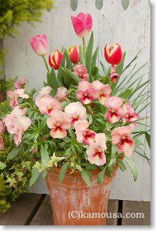 寄せ植え28~32 Pansies, Tulips, Texas Landscaping, Flower Pictures, Hanging Baskets, Garden Planning, My Flower, Spring Flowers, Garden Inspiration