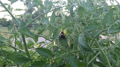 July 4th - busy, hard-working bumble bee attending to my tomato plants