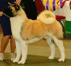 Ch Regalia's Loaded For Bear ROM Japanese Dogs, Shiba Inu, Say Hello, Dog Lovers, Snow, Bear, Animals, Akita Dog, Dogs