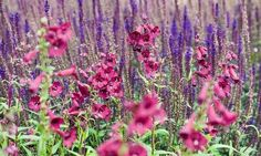 Perennial Combinations, Plant Combinations, Summer Borders, Spring Borders, Penstemon Rich Ruby, Salvia nemorosa Caradonna,Salvia Caradonna, Beardtongue Rich Ruby