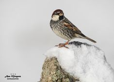 https://flic.kr/p/23gHpbb | Gorrion moruno/Passer Hispaniolensis/Madrid/España | Spanish Sparrow