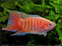 Albino Paradise Fish Paradise fish