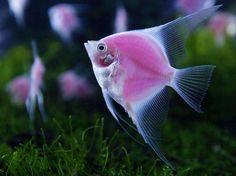 peces color rosa - Cerca amb Google