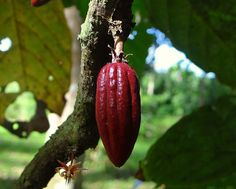 Flor y Fruto del Cacao [Cocoa Flower and Fruit] (Theobroma cacao) Theobroma Cacao, Menopause Symptoms, Natural Remedies, Seeds, Fruit, Nature, Flowers, Gardening, Cocoa