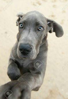 ❤baby Finny zittert nur in ihrer ARL-Windjacke - Kunst - Hunde Love My Dog, Animals And Pets, Funny Animals, Cute Animals, Animal Fun, Tierischer Humor, Great Dane Puppy, Dog Rules, Mundo Animal