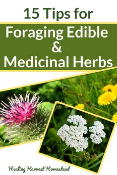 Here are Success Tips for foraging wild edible and medicinal plants for food and medicine! Find out how to forage edible and medicinal plants and the tools you'll need too. #foraging #forbeginners #foragingguide #recipes #forfood #wild #healingharvesthomestead #herbalism #plantmedicine Types Of Herbs, Wild Edibles, Growing Herbs, Medicinal Plants, Gardening For Beginners, Natural Life, Natural Living, Herbal Medicine, Homesteading
