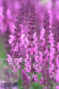 Buy salvia Sensation Rose Salvia nemorosa ''Sensation Rose' (Sensation Series)': Delivery by Crocus