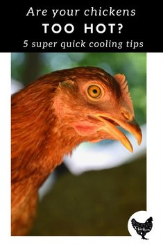 Are your chickens suffering from the heat? How can you tell? How do you keep chickens cool in the summer? We've got it all answered in this cool and breezy post.