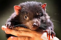 This is a baby Tasmanian Devil. The reason why we are raising funds to save… Baby Animals, Cute Animals, Tasmanian Devil, Wildlife Park, Australian Animals, Wombat, Cute Animal Pictures, Endangered Species, Softies