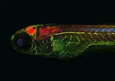 """""""Alzheimer"""" Zebrafish, stained for Tau (red), neurons (green), and pathologic Tau (blue) 