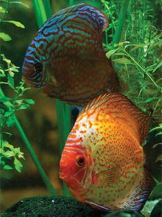 aquariums for discus fish | Design