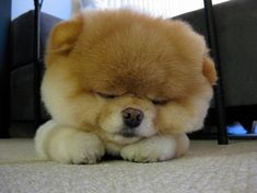 Boo the Pomeranian...He is sooo adorable!!! <3 <3
