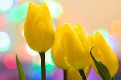 Bokeh effectYellow tulipsFairy effectWall Flower by PhotoIdea