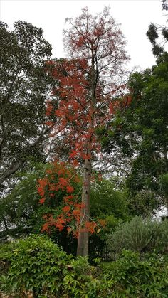 Illawarra Flame Tree Lower Bow Hill Garden