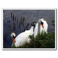 Pair of beautiful white #swans on a lake in the #English #Midlands Original photography by Tammy Winand #Leicestershire #UK #England #nature #birds #wildlife