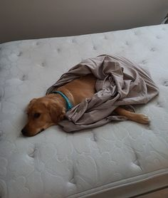 Coco doesn't like when you try to make the bed! Lol, 9 month old Golden Retriever Golden Dachshund, Golden Dog, Old Golden Retriever, Golden Retrievers, Weiner Dogs, Doggies, Dog Breeds, Journey, Lol